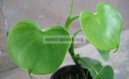 Philodendron-grazielae