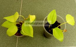 Philodendron-hederaceum-500-350-