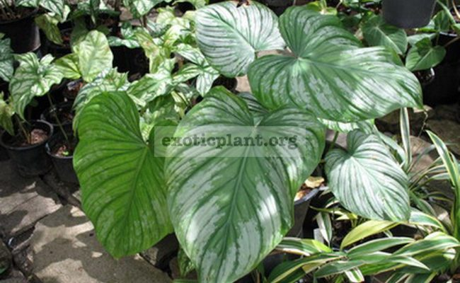 Philodendron-mamei