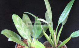 Philodendron-martianum-short-petioleL-сравнение-двух-клонов-справа-обычный-фил-мартиуса-слева-клон-с-укороченными-черешками