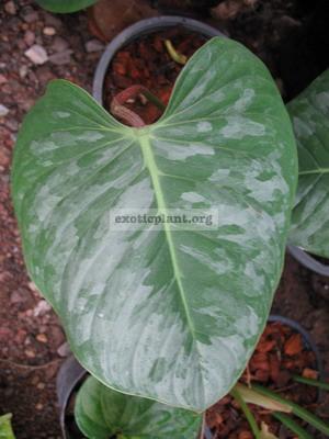 Philodendron-melanochrysum-x-sodiroi.-