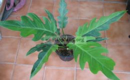 Philodendron-pinnatifidum-Twotone-3900-