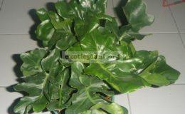 Philodendron-selloum-Dwarf