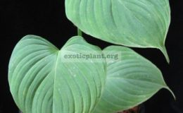 Philodendron-sp-S01-12