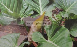 Philodendron-sp.T01