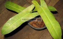 Philodendron-sp.T03-P.-Santa-leopoldiana-