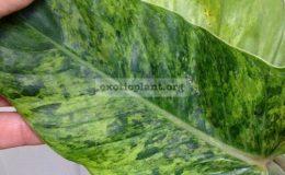 Philodendron-sp.T13-cruentum-variegated-45