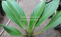 Philodendron-sp.T14-Madagascar