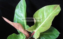 Philodendron-sp.T16-Sunlight-red-splash