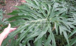 Philodendron-sp.T22-взрослый-лист-