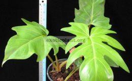 Philodendron-sp.T22-ювенильный-лист-