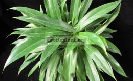 Philodendron-sp.T23