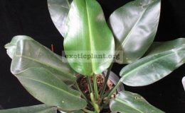 Philodendron-sp.T25