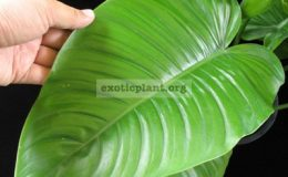 Philodendron-sp.T30-1800-