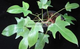 Philodendron-squamiferum-small-leaf-750-