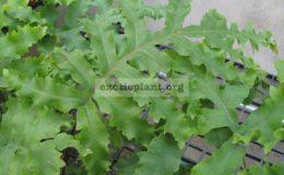 Phlebodium-aureum-Mandaianum