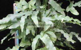 Phlebodium-aureum-var.-undulatum