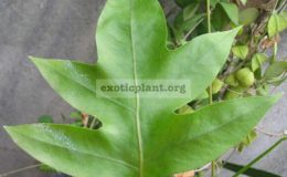 Phymatodes-scolopendriasterile-leaf