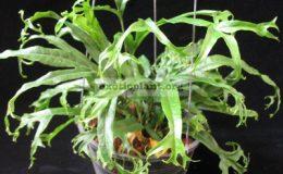Phymatosorus-longissimus-Crestata