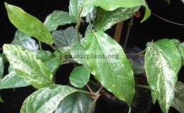 Piper-chaba-white-variegated-20