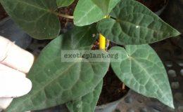 Piper-ribesoides-short-leaf-20