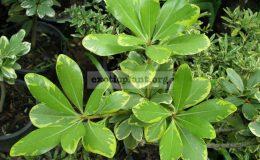 Pittosporum-tobira-yellow-margin-750