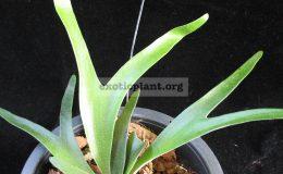 Platycerium-alcicorne-Madagascar