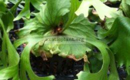 Platycerium-cv-xkitchakoodiensecoronarium-x-ridleyiS-70
