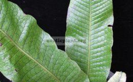 Polypodium-musifolium