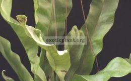 Polypodium-musifolium-mutationNo.1-40-