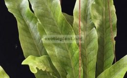 Polypodium-musifolium-x-Microsorum-punctatum-No.2-35