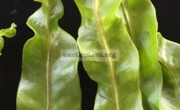 Polypodium-musifolium-x-Twisted-Tip-right-and-Polypodium-Twisted-Tip-left