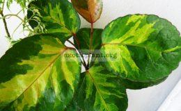 Polyscias-balfouriana-Tricolor-Plate
