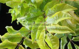 Polyscias-filicifolia-Ornata-30