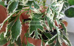 Polyscias-fruticosa-White-Arrow