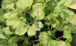 Polyscias-guilfoylei-white-variegated-30-e1458416087924