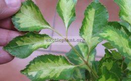 Polyscias-paniculata-variegata-