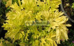 Polyscias-sp.T01-Golden-leaf-