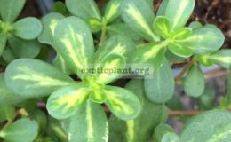 Portulaca-oleraceayellow-centerpink-flower-20
