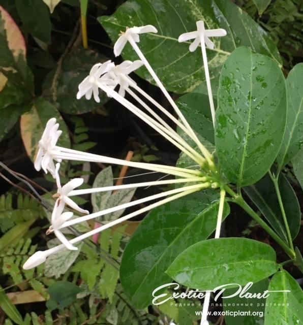 Posoqueria latifolia = Randia sp.(T02) 35