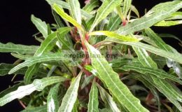 Pseudoranthemum-sinuata-variegated