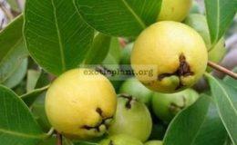 Psidium-cattleianum-Yellow-Strawberry-Guava-60