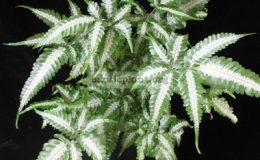 Pteris-blumeana-variegata-