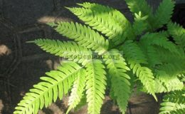 Pteris-phuluangensis-southern-Thailand