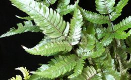Pteris-sp-T0323