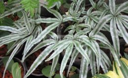 Pteris-sp.T01-Silver-Star