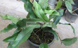 Pyrrosia-linguashort-leaf-