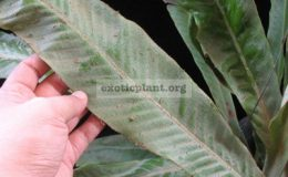 Pyrrosia-sp.T02-Giant-leaf
