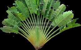 Ravenala-madagascariensis-40-cm-traveles-palm-30