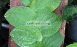 Rhapidophora-celatocaulis-750